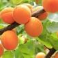 Inizia la distribuzione delle albicocche e ciliegie sciroppate del Lago di Monate